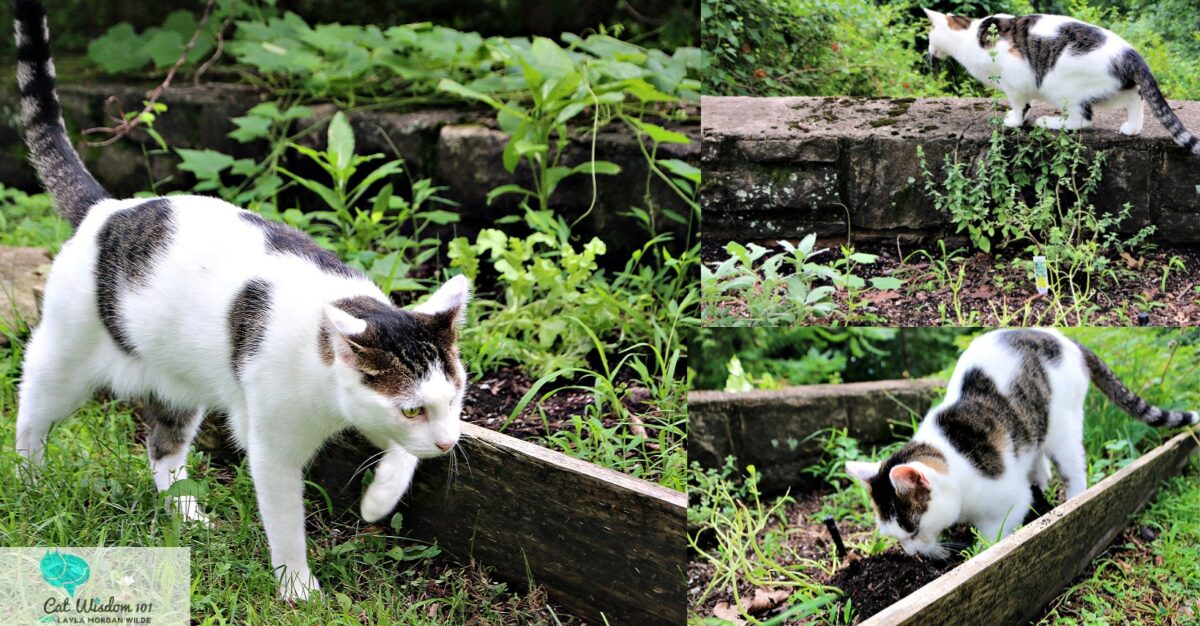Odin the cat in the herb garden