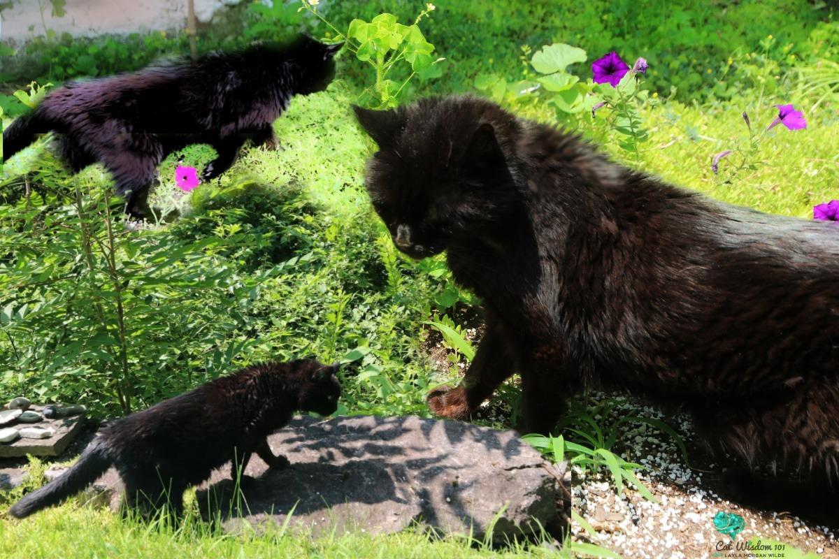 clyde the black cat exploring the garden