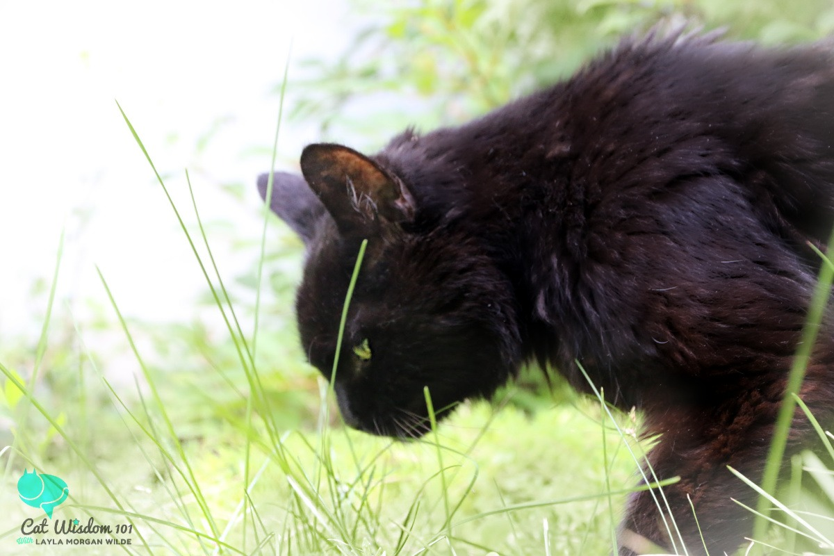 black cat Clyde eats grass