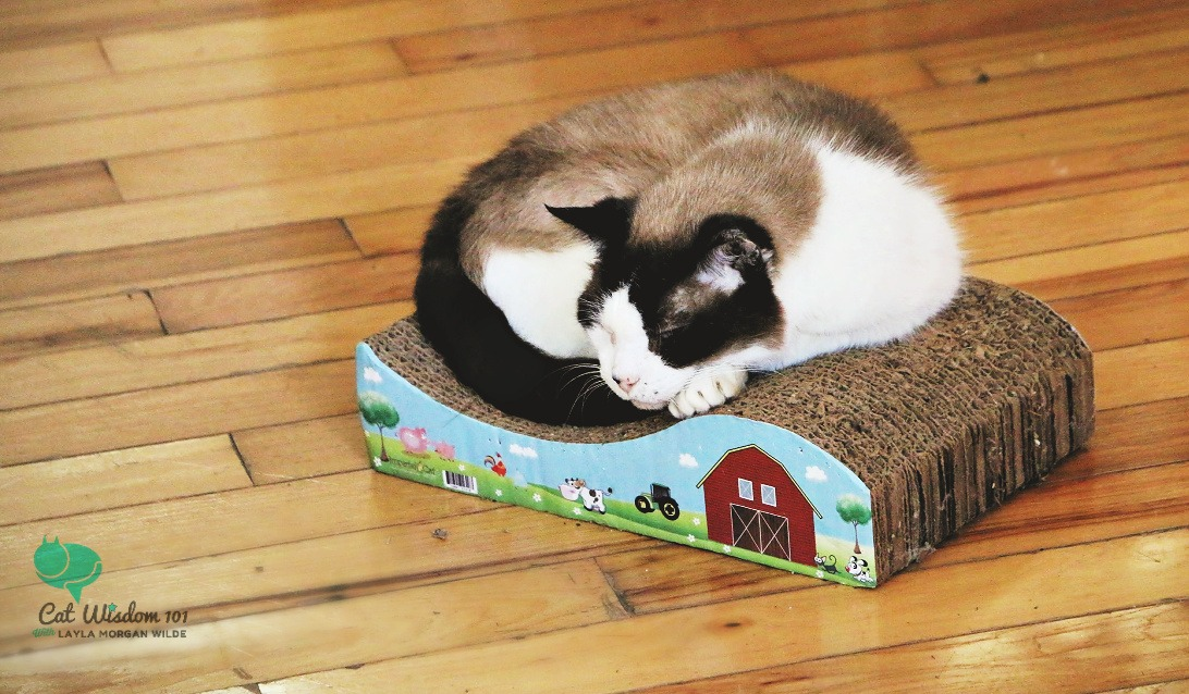 domino the cat napping on a tiny cardboard bed