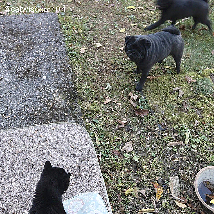 black cat and black pug dogs