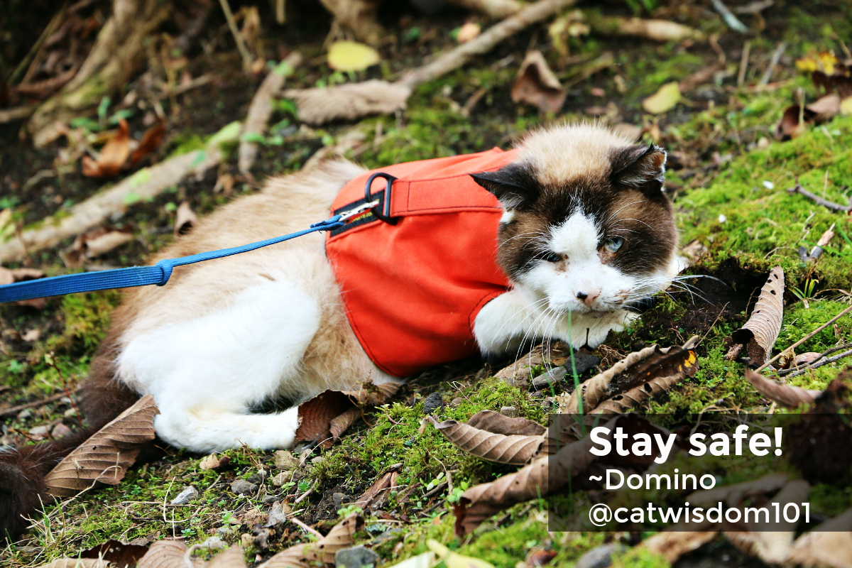 Domino Snowshoe cat Halloween harness