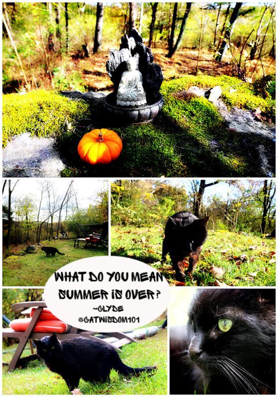 clyde-cat-summer-pumpkin