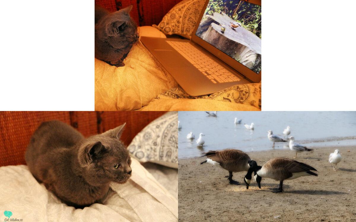 nou nou-cat-bird tv