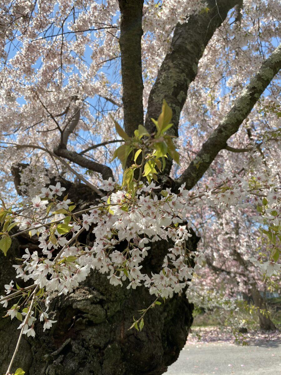 Cherry blossom tree Sakura